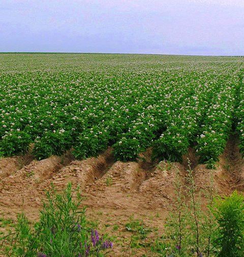Potatoes-field