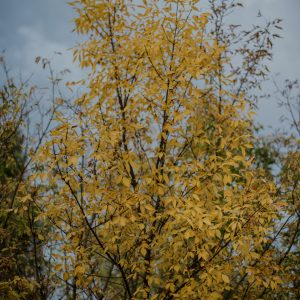 Orange leaves in autumn on a tree along Lumsden Trail, Saskatchewan