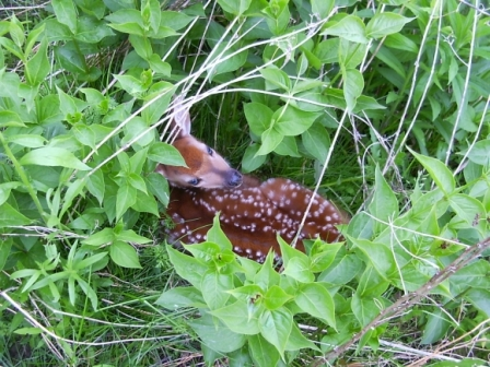 A fawn rests in the greener at Rouge Park (Photo: Parks Canada)