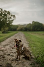 A brown dog sits on a trail surrounded by green grass