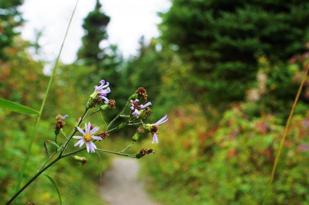 Aster fausse-prenanthe (Symphyotrichum prenanthoides), Hattie Cove, Lac Supérieur ON. Maltese-Crottier Kevin