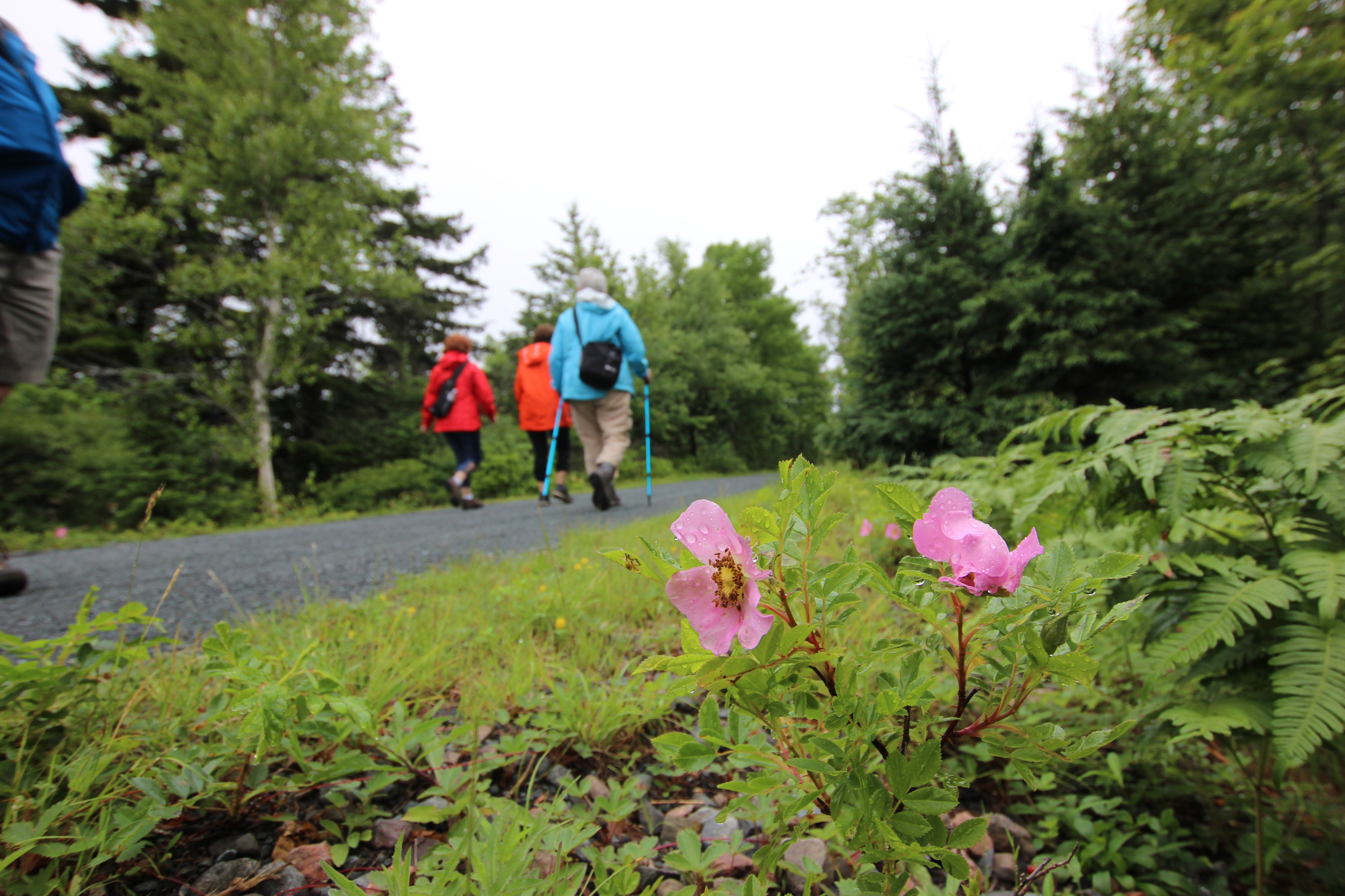 Three people walking on The Great Trail, with pink flowers in the foreground.